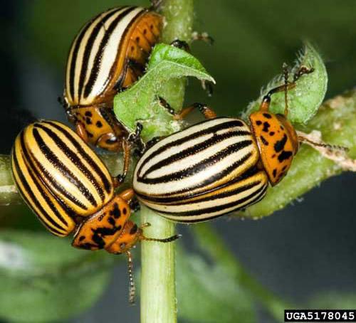 BPC-Services-Cockroaches-Beetles-Beetle1