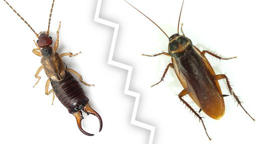 BPC-Services-Crickets-Earwigs-EarwigvsCricket1