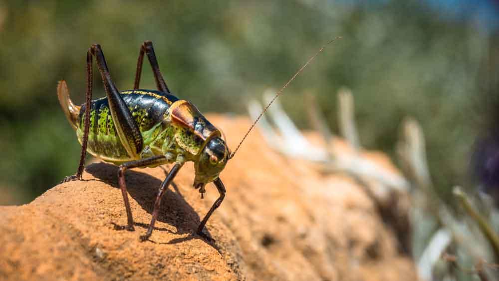 BPC-Services-Crickets-Earwigs-EarwigvsCricket2-optimized