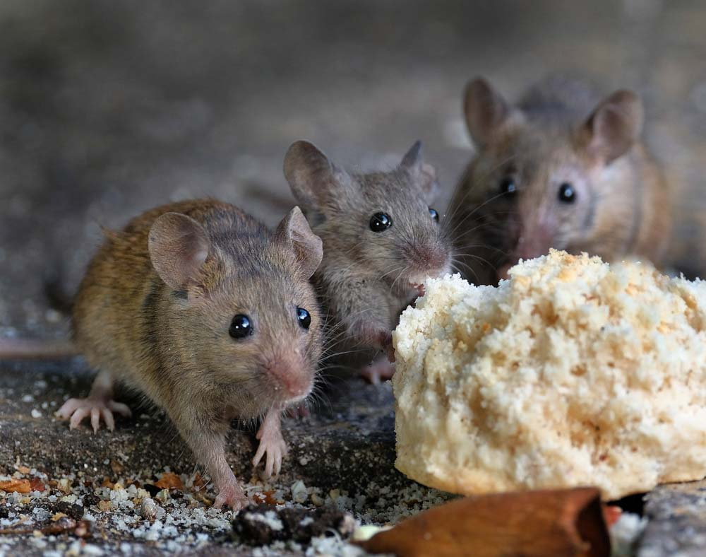 BPC-Services-Rats-Mice-Squirrels-Mice1