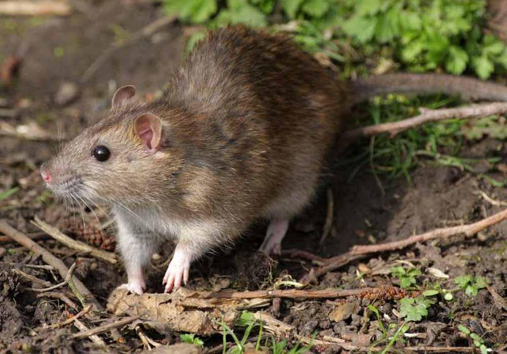 BPC-Services-Rats-Mice-Squirrels-Rat1
