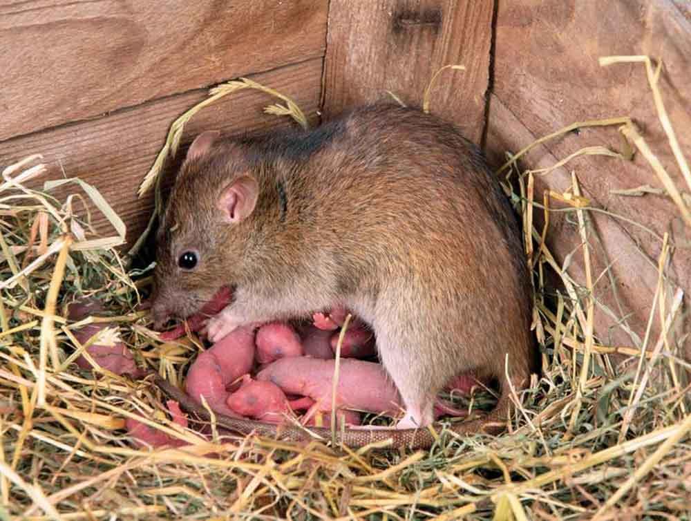 BPC-Services-Rats-Mice-Squirrels-Rat2