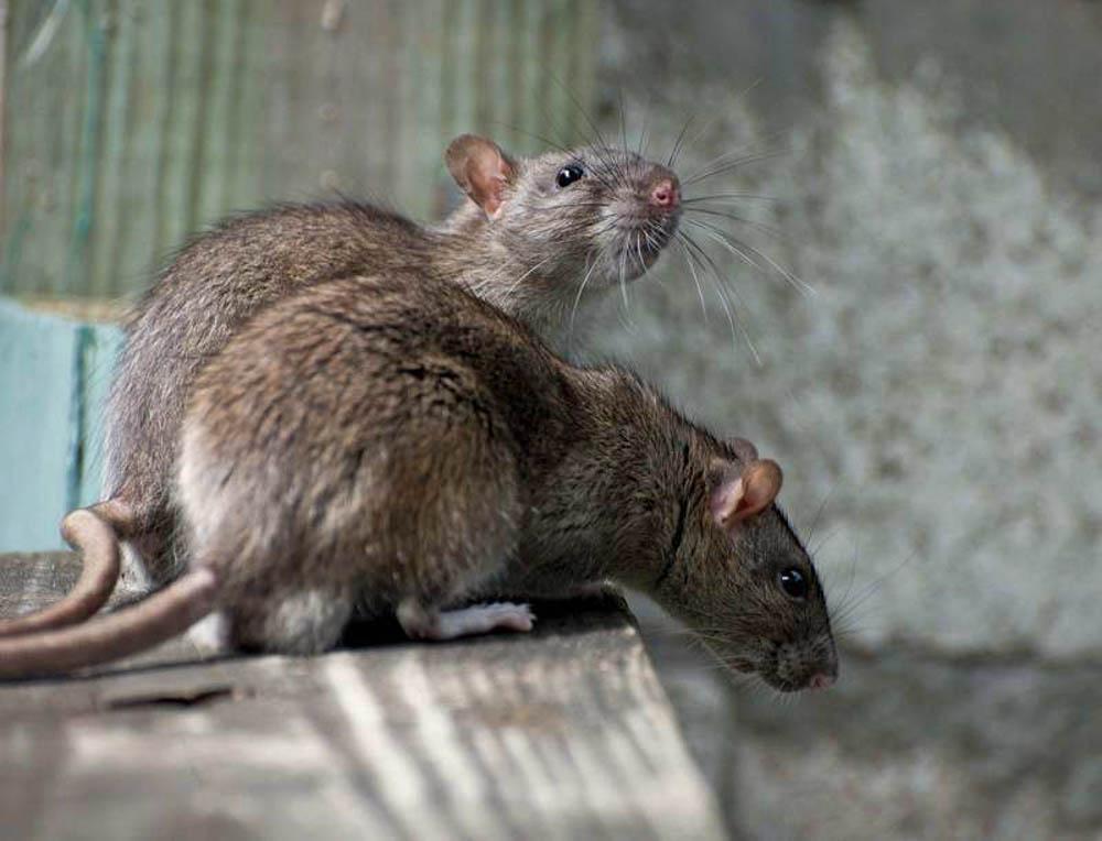 BPC-Services-Rats-Mice-Squirrels-Rat3