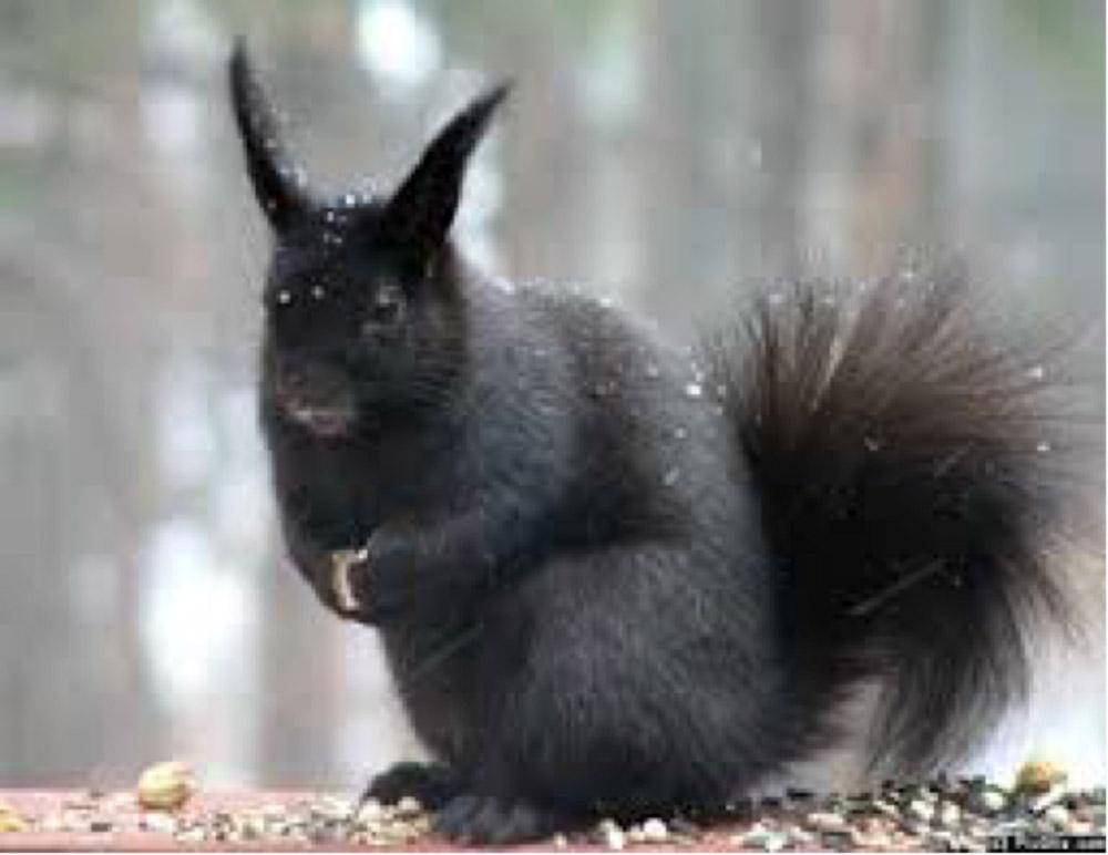 BPC-Services-Rats-Mice-Squirrels-Squirrel1
