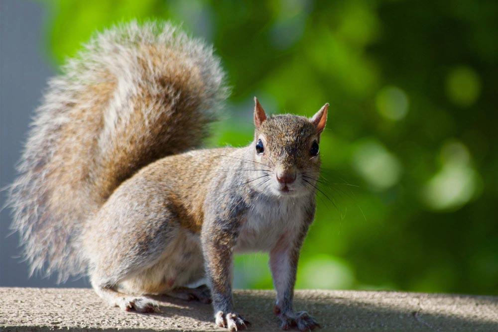 BPC-Services-Rats-Mice-Squirrels-Squirrel2
