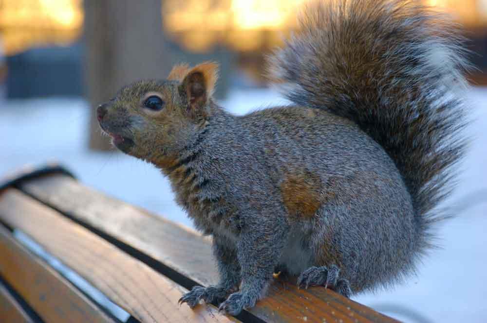 BPC-Services-Rats-Mice-Squirrels-Squirrel3