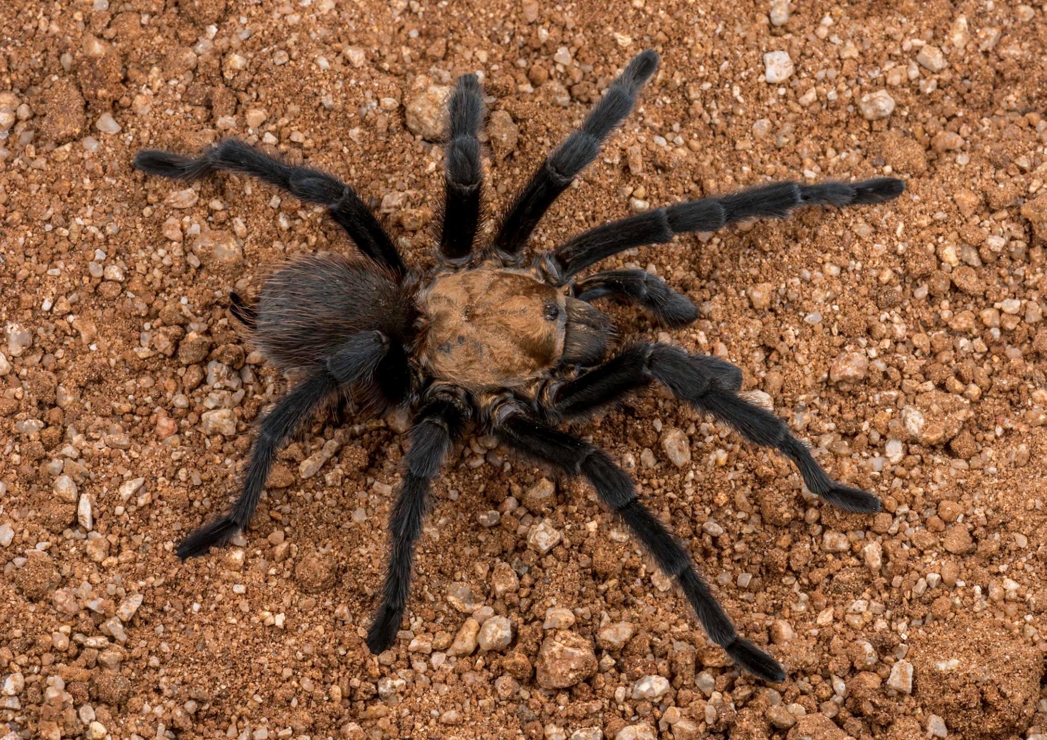 BPC-Services-Spiders-Tarantula