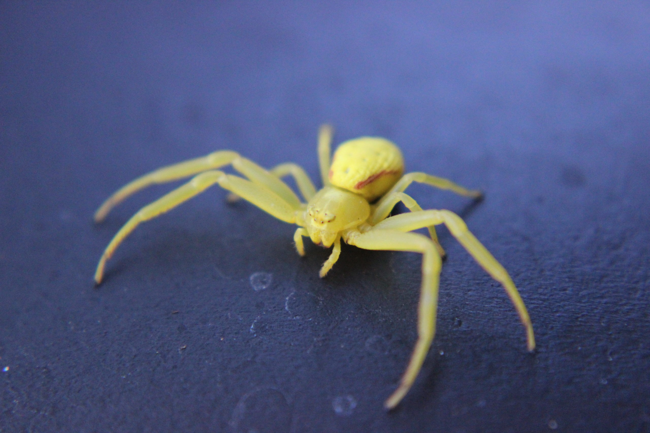Yellow Sac Spider Pacific Northwest Oregon USA