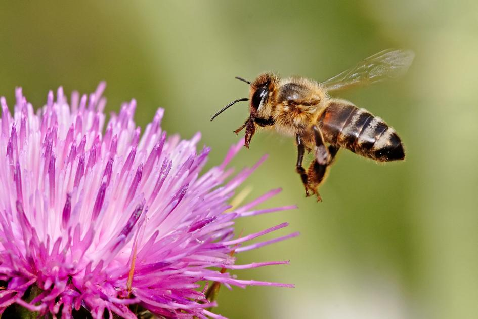 BPC-Services-Wasps-Bees-Bee2