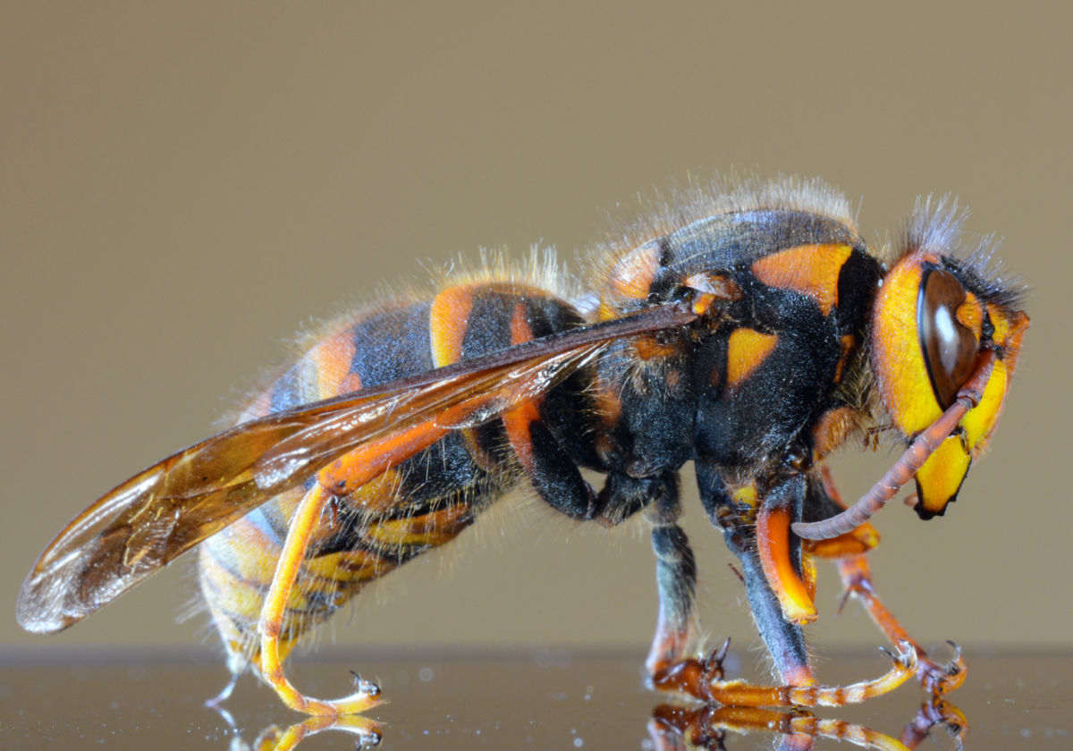 BPC-Services-Wasps-Bees-Wasp4
